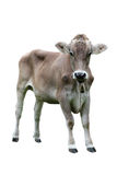 Young Cow Royalty Free Stock Photography
