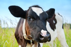 Young cow Stock Image