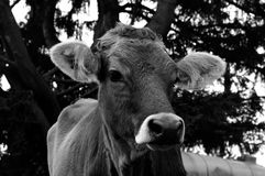 Young cow Royalty Free Stock Photos