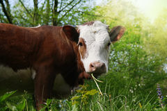 Young cow royalty free stock image