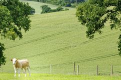 Young cow alone in a summer field. codicote, hertfordshire. countryside. Codicote, hertfordshire. a young cow takes a brake grom grazing in a hertfordshire field royalty free stock photo