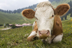 Young cow on an alpine meadow Stock Photo