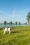 Young cow on the banks of river early in the morning Royalty Free Stock Images