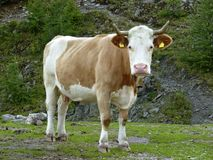 Young cow with bell stock photos