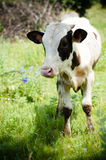 Young cow or bull looking at camera outdoors Stock Images
