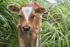 Young cow calf. Brown and white spotted young cow calf Stock Photography