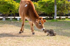 Young cow calf looking and smiling cat kitten. Young Cow and Cat kitten playing in the ground stock images