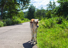 Young cow on countryside road. Tropical landscape with farm animal baby. stock photos