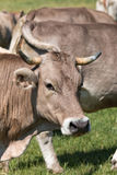 Young cow Stock Images