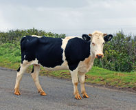 Young Cow In Easter Island Royalty Free Stock Photography
