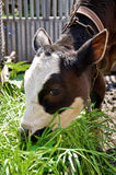 Young cow eats green grass Royalty Free Stock Photography