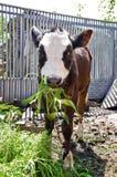 Young cow eats green grass Royalty Free Stock Photos