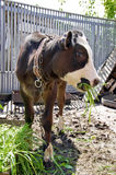 Young cow eats green grass Stock Images