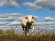 Young Cow on a field. With blue cloud sky Stock Photo