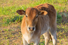 Young cow in the grassland Stock Photos