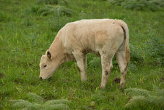 Young cow graze Royalty Free Stock Photography