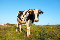 Young cow grazing on a meadow in Portugal Royalty Free Stock Image