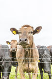 Young Cow herd in cornwall england uk Stock Photography