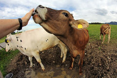 Young cow licks the hand of a woman Stock Image