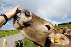 Young cow licks the hand of a woman Royalty Free Stock Photography