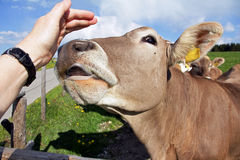 Young cow licks the hand of a woman Stock Photos