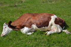 Young cow lying on grass Stock Images