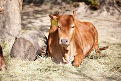 Young cow lying and resting Stock Photo