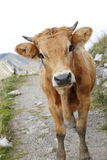 Young cow on mountain Royalty Free Stock Image