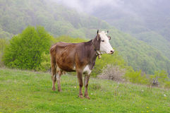 Young cow on mountain meadow Royalty Free Stock Images