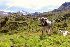 The young cow Stock Photos