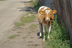 Young cow near a wooden fence. Rustic look Royalty Free Stock Image