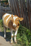Young cow near a wooden fence. Rustic look Royalty Free Stock Photography