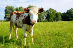 Young cow on pasture Stock Photos