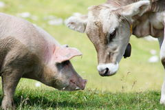 The young cow and the pig Royalty Free Stock Photo