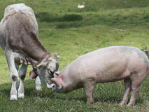 The young cow and the pig. Two unlikely lovers or inseparable friends Stock Image