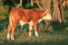 Young Cow Profile Royalty Free Stock Photos