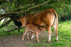 Cow with young calf sucking her teat royalty free stock photos