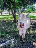 Young cow putting its pink tongue to the nose. royalty free stock photo