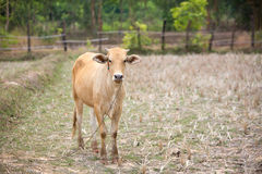 Young cow standing on rice field. Royalty Free Stock Photography