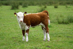 Young cow standing up. Stock Photos