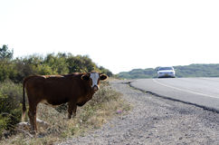 A young cow in the wild. A young cow, standing in the wild in the Carmel area, Israel Royalty Free Stock Photo