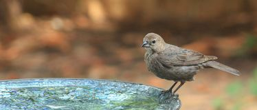 Young Cowbird and water drops Royalty Free Stock Images