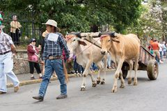 Young cowboy. Or ox-cart driver with pair of oxen in annual oxcart parade in Escazu, Costa Rica stock photos