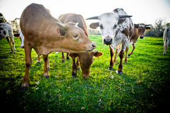 Young Cows Stock Photography