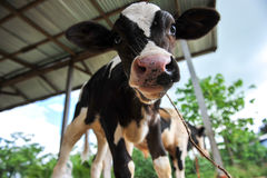 Young cows Royalty Free Stock Photography