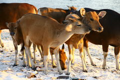 Young cows on the beach. Of Gili island Stock Images