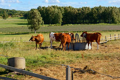 Young cows and calves in a corral Royalty Free Stock Image
