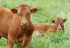 Young cows, calves, in a green meadow Royalty Free Stock Photos