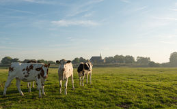 Young cows early in the summer morning. Group spotted heifers standing on the floodplain at a Dutch river curiously looking at the photographer. It is very early Royalty Free Stock Photography