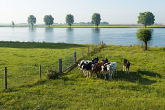 Young cows on the floodplain of a river Royalty Free Stock Images